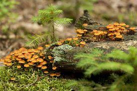 species of agaric fungus (Xeromphalina kauffmanii) on trunk