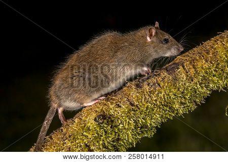 Wild Brown Rat (rattus Norvegicus) Walking On Log At Night. High Speed Photography Image