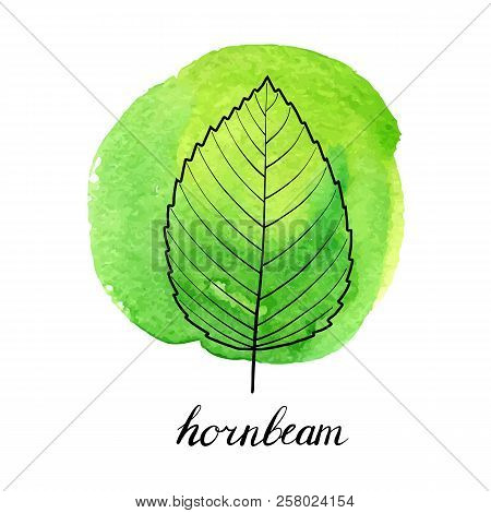 Vector Leaf Of Hornbeam Tree At Green Watrcolor Paint Stains, Hand Drawn Illustration