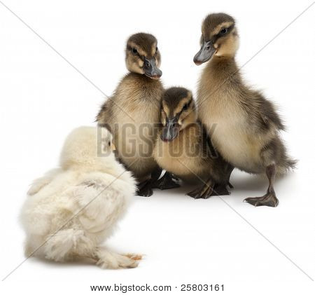 Three Mallards or wild ducks, Anas platyrhynchos, 3 weeks old, facing a chick in front of white background