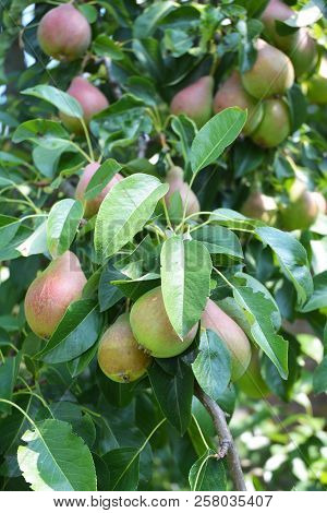 Pears: Planting, Growing, And Harvesting Pears. Growing Juicy Fresh Pears O The Pear Tree Branch.