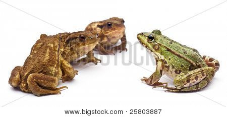 Common European frog or Edible Frog, Rana kl. Esculenta, facing common toads or European toads, Bufo bufo, in front of white background