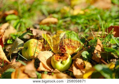 Rural Variety Of Apples . The Bits Of Apples In The Grass The Autumn. Wasp On Apple