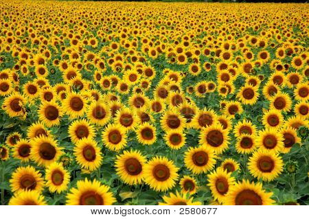 a multitude of sunflowers in a field