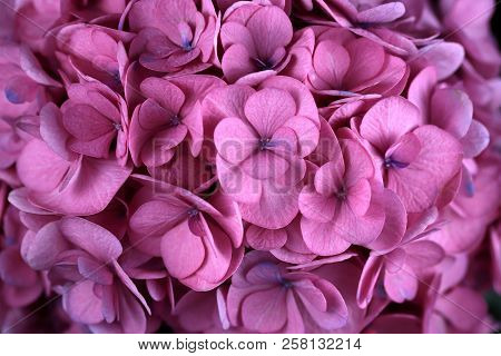Close-up Of Pink Hydrangea Macrophylla (hortensia) Flower. Macro Photography Of Nature.