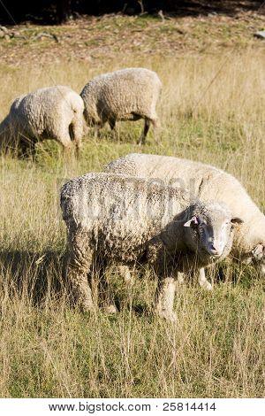 Sheepish Stare