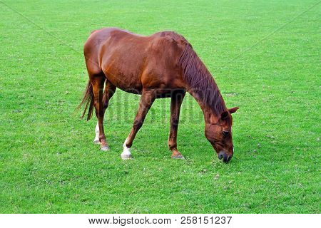 Grazing Brown Horse On The Green Field. Brown Horse Grazing Tethered In A Field. Horse Eating In The