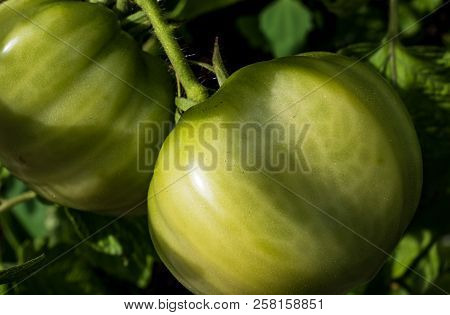 Fresh Green Tomatoes Growing On The Vine In The Daylight