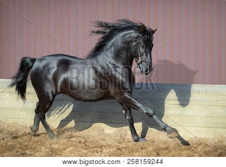 Beautiful black Andalusian horse running in paddock at sunset.