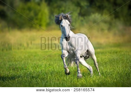 White Andalusian Horse Runs Gallop In Summerfield. Pura Raza Espanola