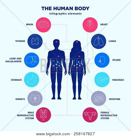 Human Body Infographic Elements, Male And Female Silhouettes And Internal Organs Line Icon Set, Vect