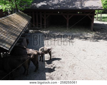 View of family of four wild european bisons stand on sandy ground in enclosure at city of Pszczyna in Poland in 2018 warm sunny spring day on May. poster