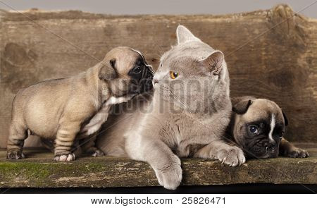 french bulldog puppy and British kitten