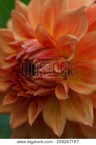 Closeup Of A Yellow Orange Dahlia Flower