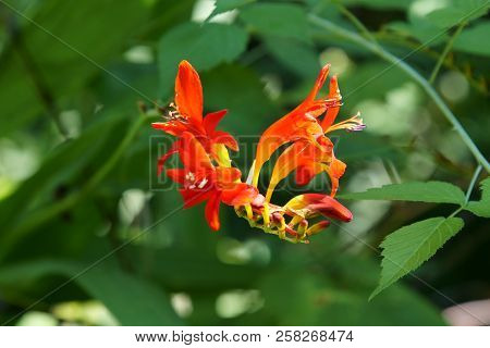 Red Crocosmia Flowers In Summer Season, Selective Focus.