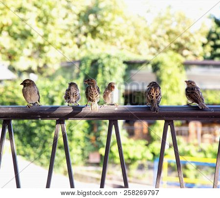 Sparrows In Row Over Railing