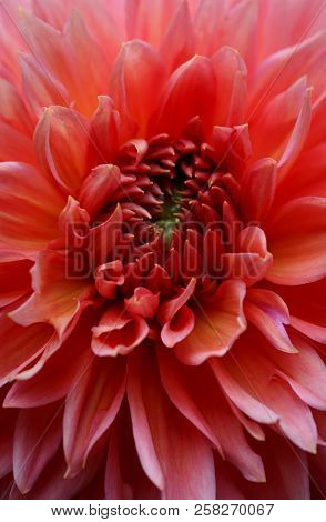 Closeup Of A Beautiful Beautiful Dahlia Flower - Warm Autumn Color Space