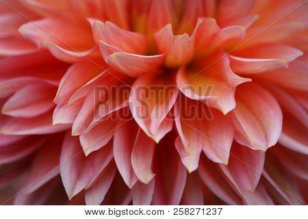 Beautiful Dahlia Flower Petals - Warm Autumn Color Space