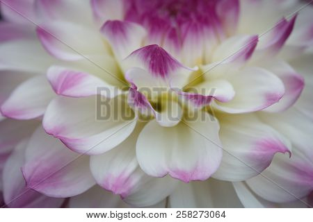 Closeup Of A Pastel Purple White Dahlia Flower