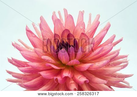 Large Pink Flower Of The Dahlia.