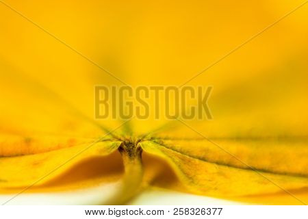 A Large Yellow Leaf, Shot Close-up.