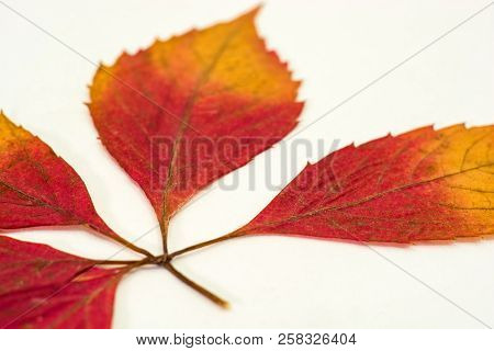 A Branch With Red Leaves On A White Background.