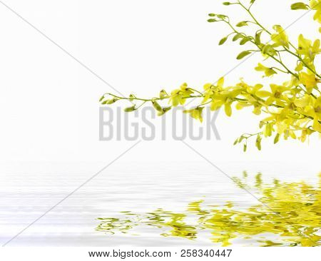 yellow flower of orchid with reflection