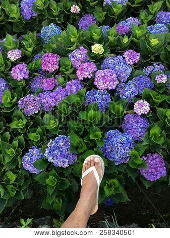 Hydrangea flower with foots outside in a garden