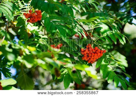 Bright Rowan Berries On A Tree. Rowan Berries In Sunlight. Orange Berries.