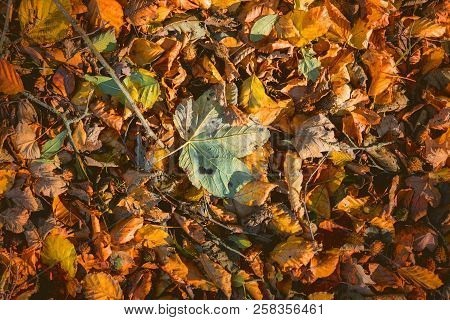 Leaves In Warm Colors In The Fall With Maple And Beech Leaves Mixed Together In Autumn