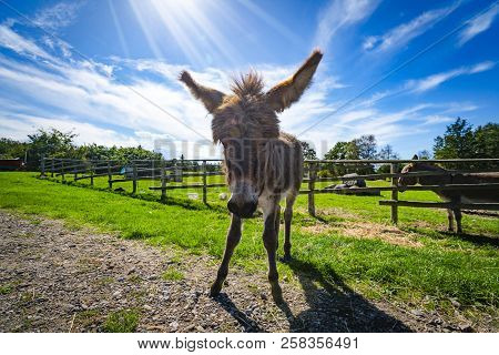 Donkey Mule On A Rural Field In The Spring With A Fence In The Background Under A Blue Sky