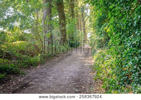Sandy Path Between The Tall Trees Of A Large Dutch Forest. At The Edges Of The Road Tire Tracks Are