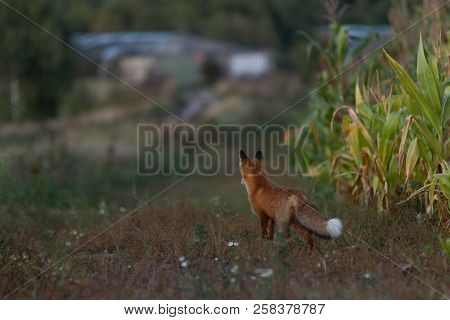 A Cute, Young, Fiery, Red Fox Cub Stands, Lit By The Evening Sun, Against The Background Of Grass. L
