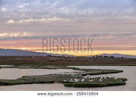 Flock Of Great White Pelicans Perched In The Marshlands Of  Baylands Nature Preserve With Sunset Ski