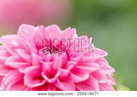 Pink blooming Ball Dahlia (Dahlia Hybrida) Flower in the morning Light.