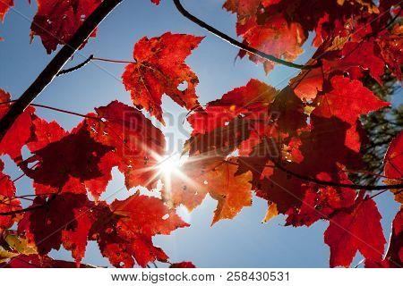 Bright Sun Shining Through Red Fall Foliage