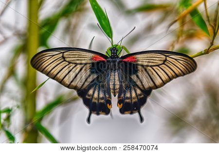 Papilio Memnon, Aka Great Mormon Is A Tropical Butterfly. Here Shown While Standing On A Leaf