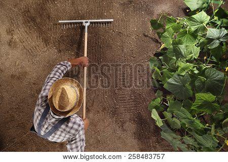 Man Farmer Working With Rake In Vegetable Garden, Raking The Soil Near A Cucumber Plant, Top View An
