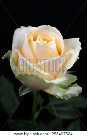 Portrait Of Pastel Vanilla Color Rose On The Black Background. Macro Photography Of Nature.