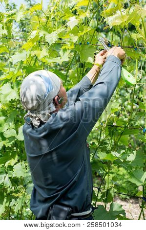 Farmer Vintner Observing A Plant Grapes In The Grape Fields