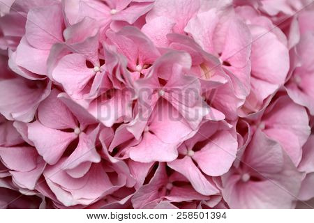 Close-up Of Pastel Pink Hydrangea Macrophylla (hortensia) Flower. Macro Photography Of Nature.