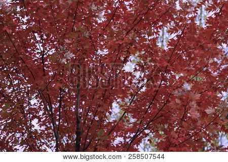 Bright Autumn Scenic Vivid Colorful Tree Crown, Flying From The Wind Last Leaves, Burgundy Color. Na
