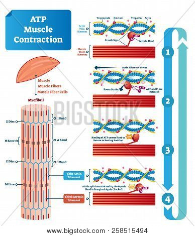 Atp Muscle Contraction Cycle Vector Illustration Labeled Scheme. Educational Diagram With Muscle, Fi