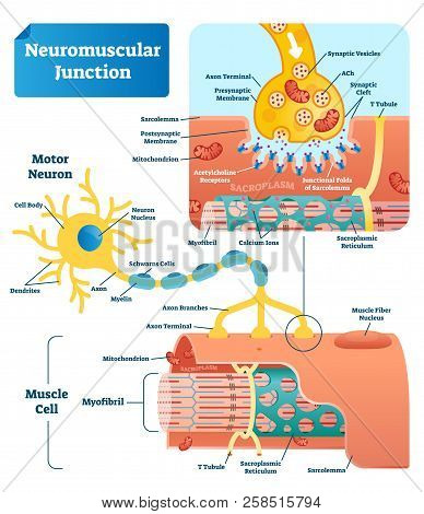 Neuromuscular Junction Vector Illustration Scheme. Labeled Medical Infographic. Motor Neuron And Mus