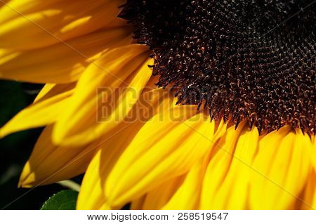 Portrait Of Sunflower Flower In The Summer Garden. Macro Photography Of Nature.