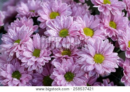 Close-up Of Pink Aster Flowers (asteraceae) In The Summer Garden After The Rain. Macro Photography O