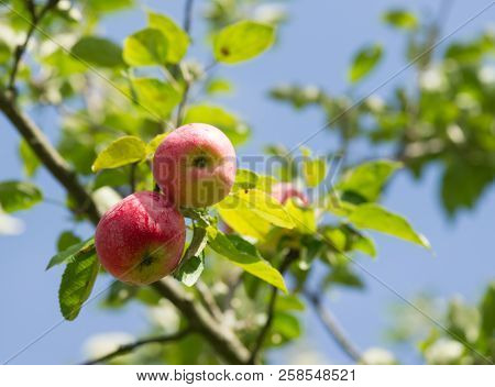 The Fresh Organic Red Apples On Branch