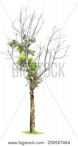 Tree Isolated,tree Cutting On A White Background. Tree Editing The White Background