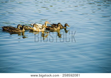 Group Of Ducks In The Lake, Background