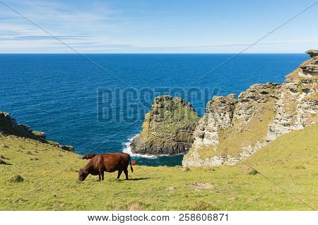Coast Path View North Cornwall On Path From Tintagel To Boscastle With Cows